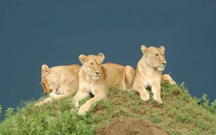 Lioness, Masai Mara National Reserve ©chege wa kariuki