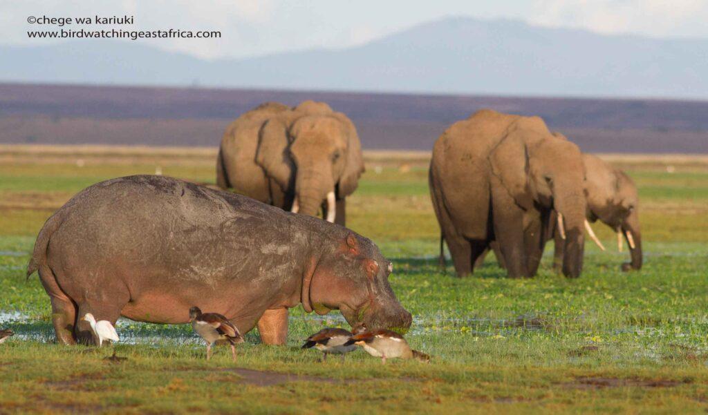 Hippo/African Elephant