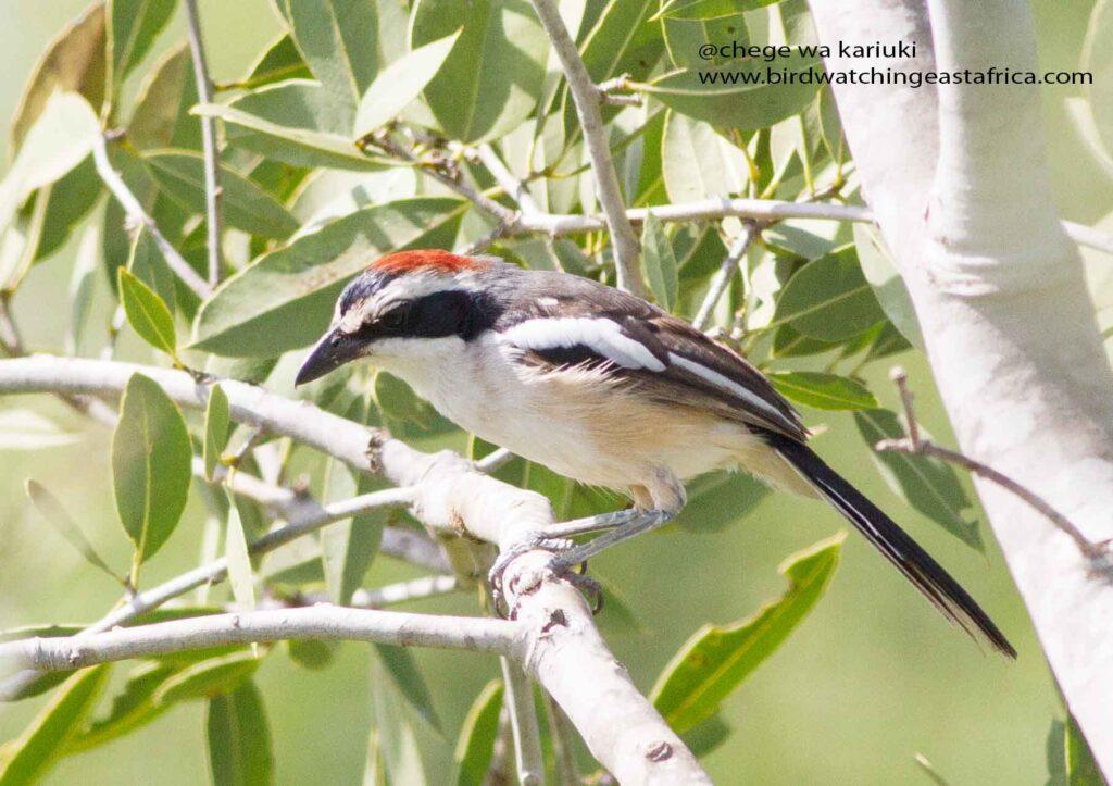 Red-naped Bush-Shrike