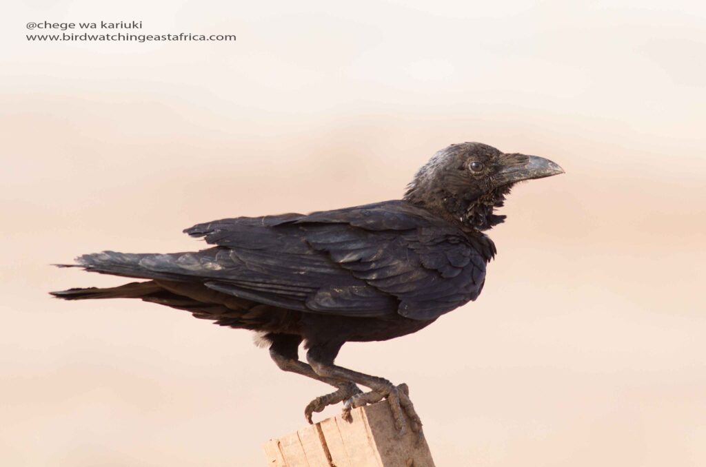 Somali Crow