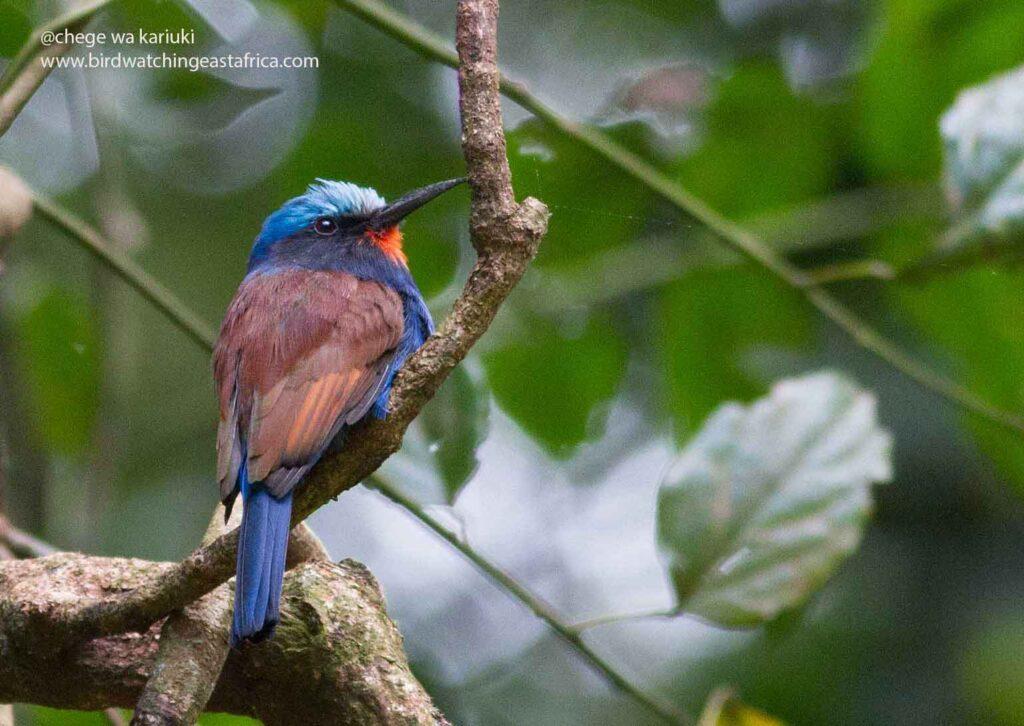 Blue-headed Bee-Eater