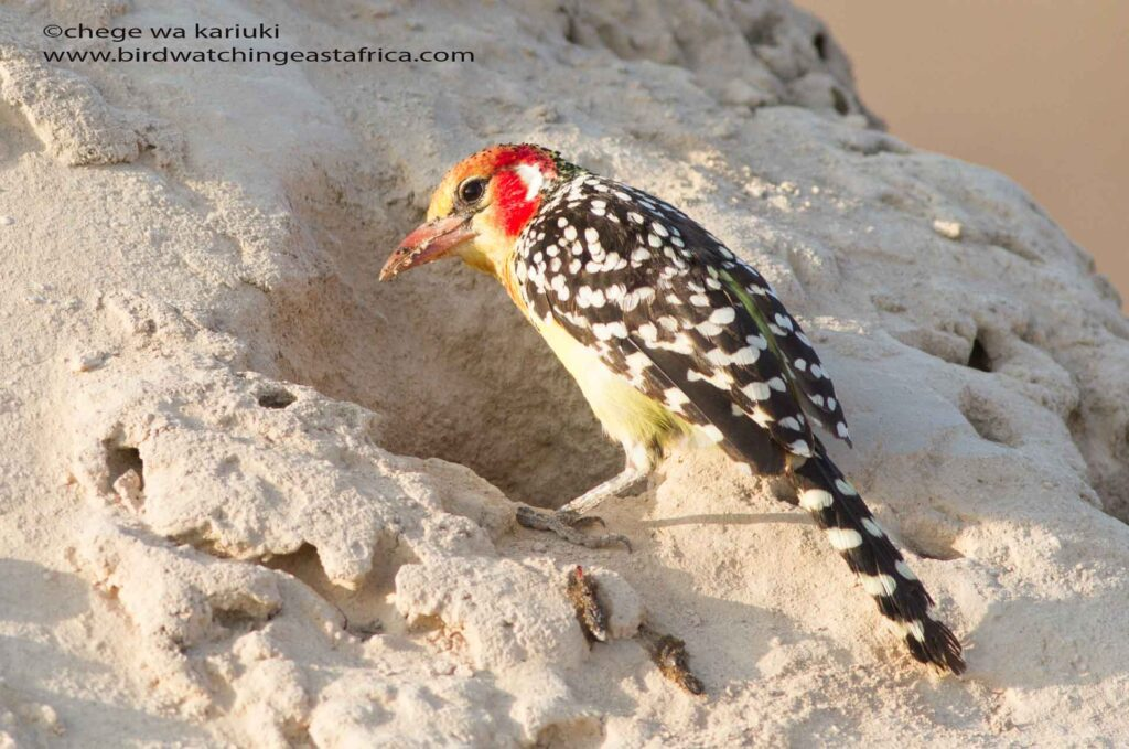 Red-&-Yellow Barbet